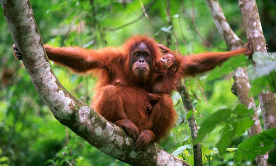 2D1N Bukit Lawang - Orangutan