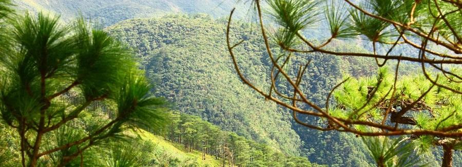 sumatran pine